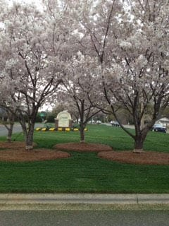 EnviraScape LLC | Floral trees, Dogwood, with pine needles at their bases on a nicely manicured lawn